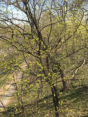 Green buds, tree along Rock Creek below Dumbarton Bridge, Washington, D.C.