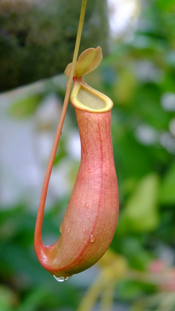 Nepenthes Ventrara with red pigmentation