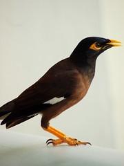 A Myna Bird
