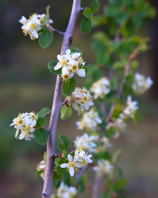 IMG_3416 Utah Serviceberry (Amelanchier utahensis), Zion National Park