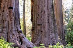 Calveras Big Tree State Park.