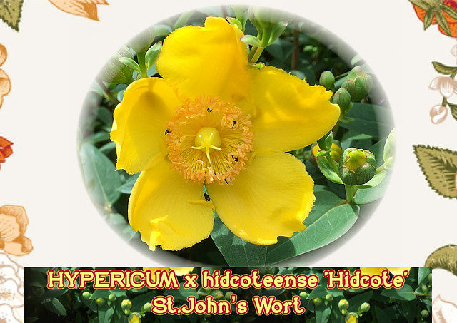 HYPERICUM x hidcoteense 'Hidcote' 2