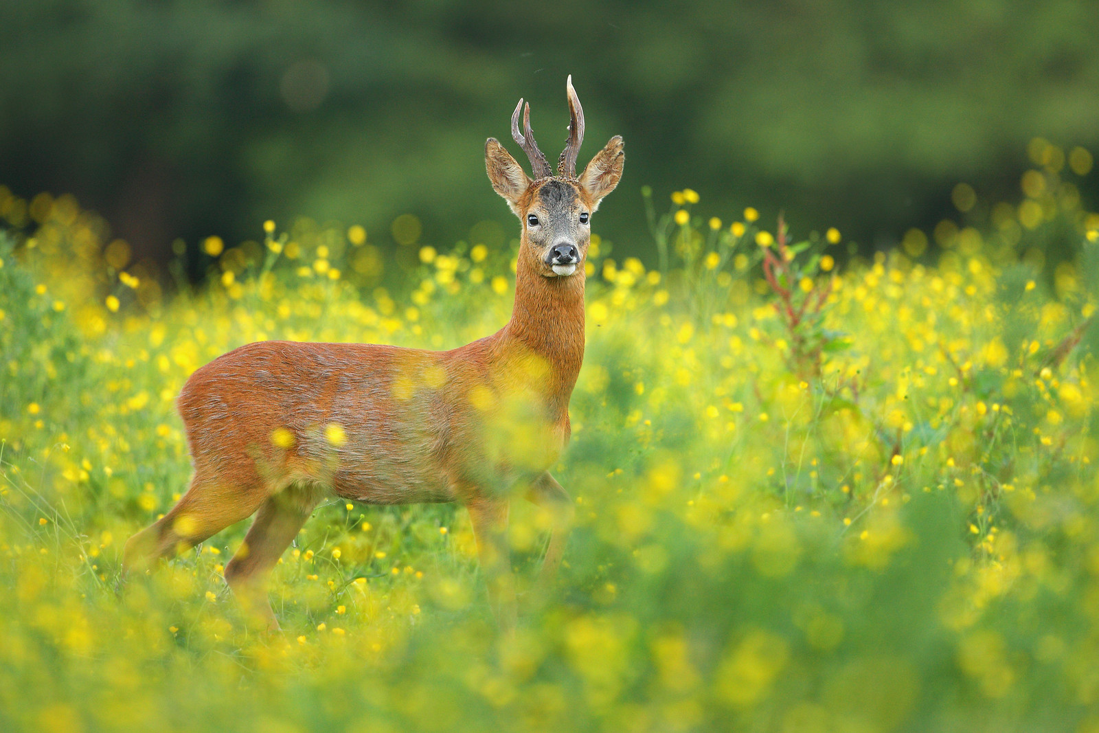 Roe Deer in Buttercup Meadow