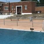 Ducks as companions on the swim