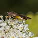 Egg laden hoverfly