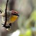 Rufous-capped Warbler por rolando chdm