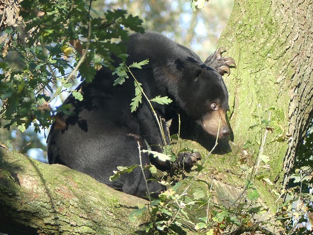 Malaienbär, Ouwehands Dierenpark Rhenen