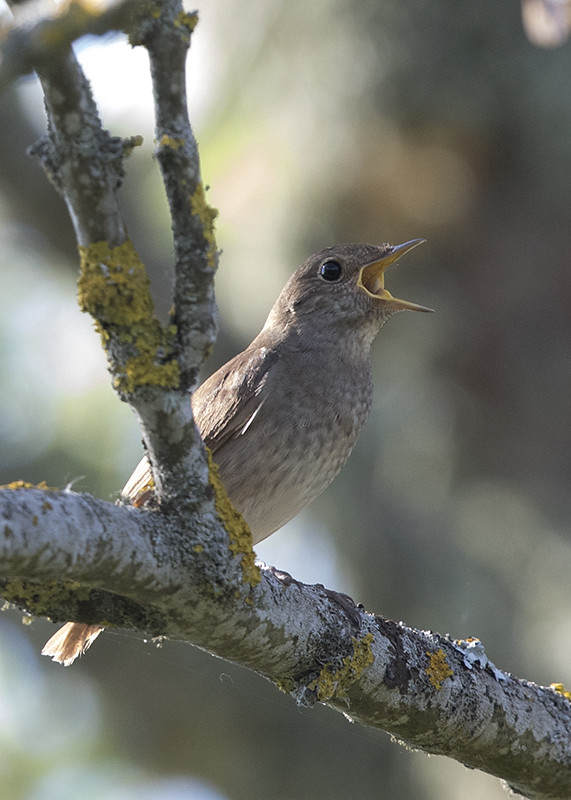 Thrush Nightingale   Luscinia luscinia