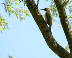 HolderGreen Woodpecker.