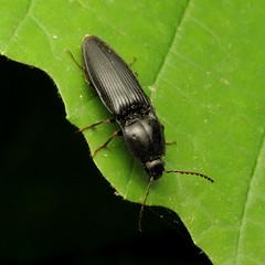 Large Click Beetle