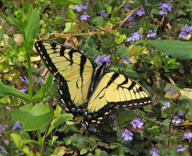 fresh Tiger swallowtail in purple wildflowers