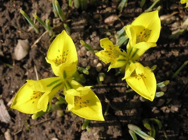 Iris danfodiae