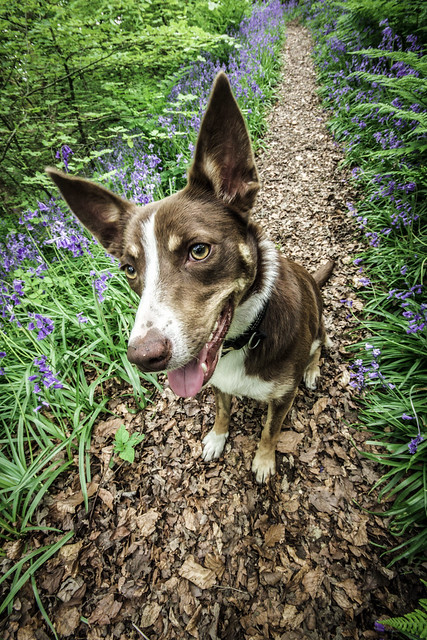Australian Kelpie Pictures and Informations - Dog-Breeds.com