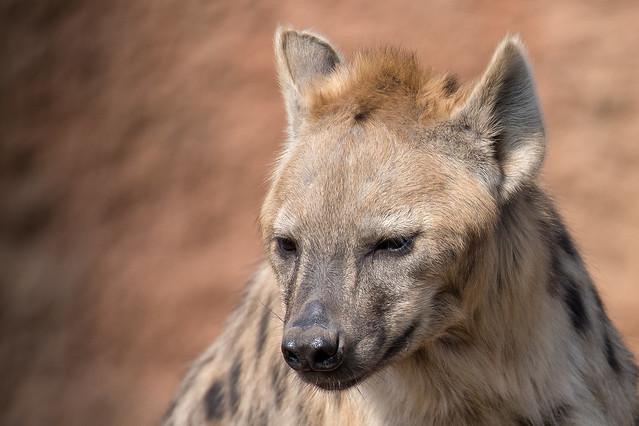 Hyäne / hyena, Canon EOS 6D MARK II, Sigma 150-600mm f/5-6.3 DG OS HSM | S