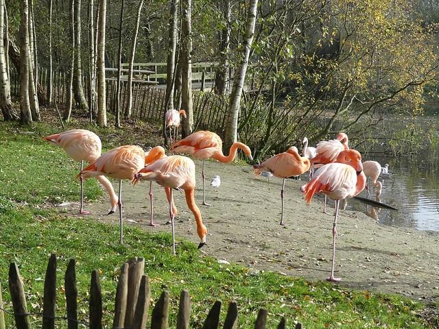 Flamingo, AquaZoo Friesland