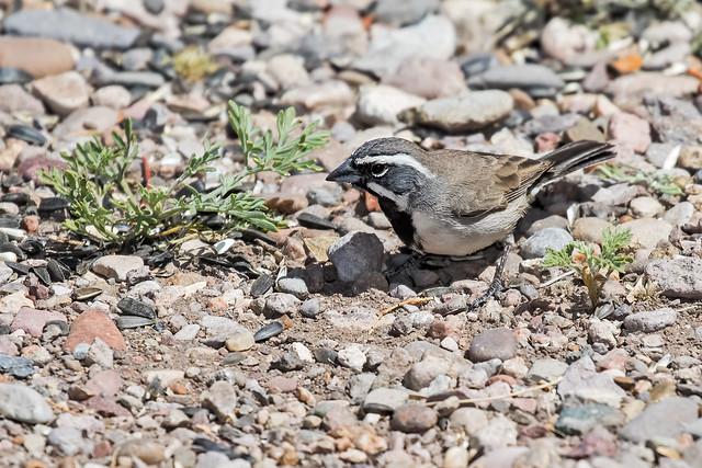 Black-throated-Sparrow-9-7D2-041718