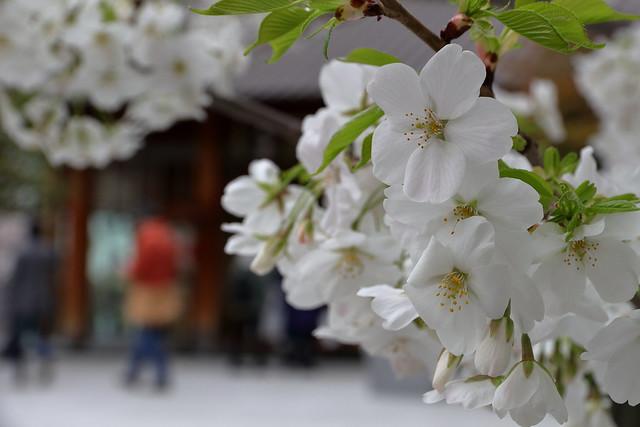 赤城神社(神楽坂)の桜