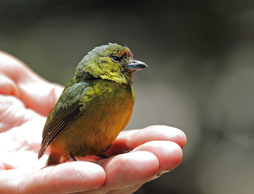 A87A6876 Olive-backed Euphonia
