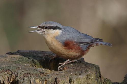 northamptonshire wild wildlife nature nuthatch sittaeuropaea bird woodland barnwellcountrypark