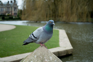 20180322-20_Coombe Abbey Country Park - Pigeon