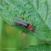 Soldier Beetle....Cantharis lateralis