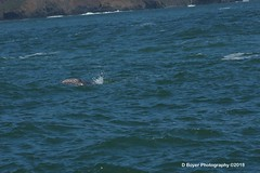 Grey whale yearling spy-hopping.