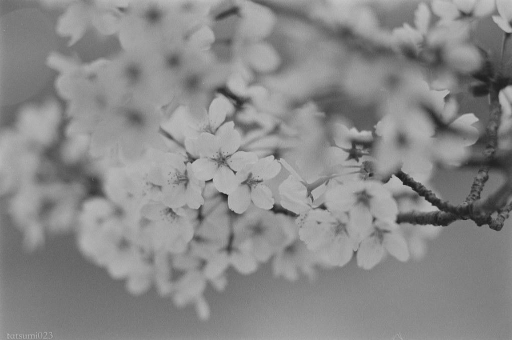 2018-04-21 深川の桜 001-3