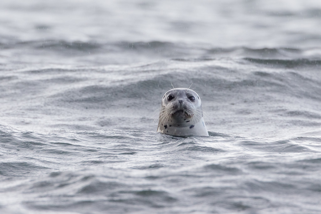 A harbor seal watches from the surf near Cobble Beach on a rainy day at Yaquine Head Outstanding Natural Area in Newport, Oregon