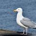 Herring Gull adult