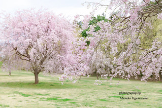 Row of Weeping cherry blossom tree