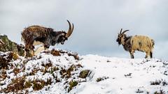 Welsh Mountain Goats
