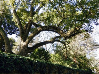 Live oak, Easy Street, Aiken, South Carolina