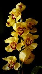 Orchid, orqu