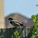 Male Sparrow ....