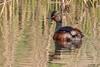 Black-necked Grebe, Podiceps nigricollis by Kevin B Agar