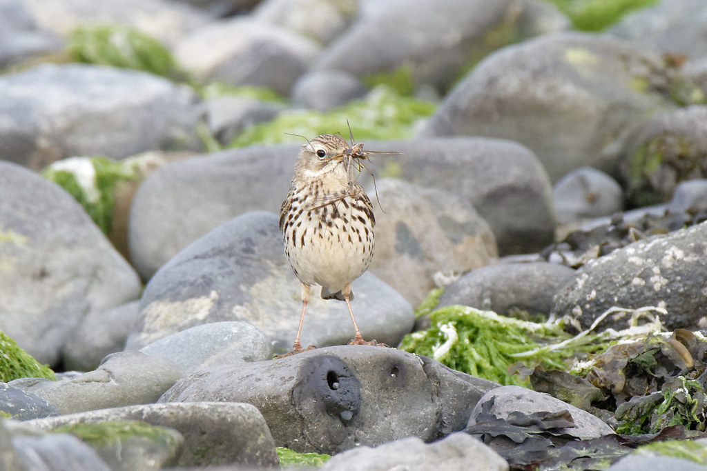 Pipit V Insect
