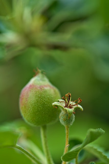 Apples are growing