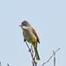 Whitethroat Marshside RSPB F00228 D210bob  DSC_1729