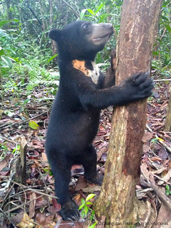 Bear of the Month Bubu sun bear cub Orangutan Foundation International