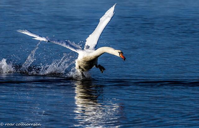 Take off Swan