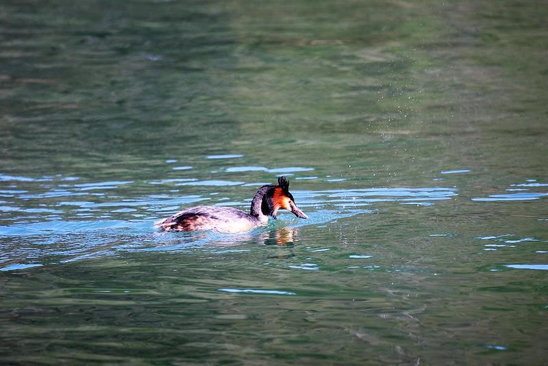 Ducks 07.04 (7)