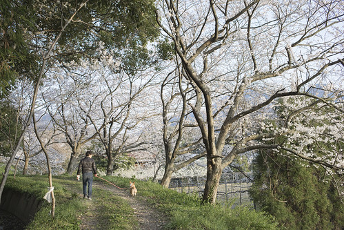 Walk along the cherry blossoms with the dog