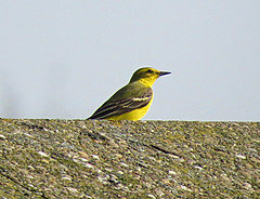 Yellow Wagtail Motacilla flava flavissima Tophill Low NR, East Yorkshire April 2018