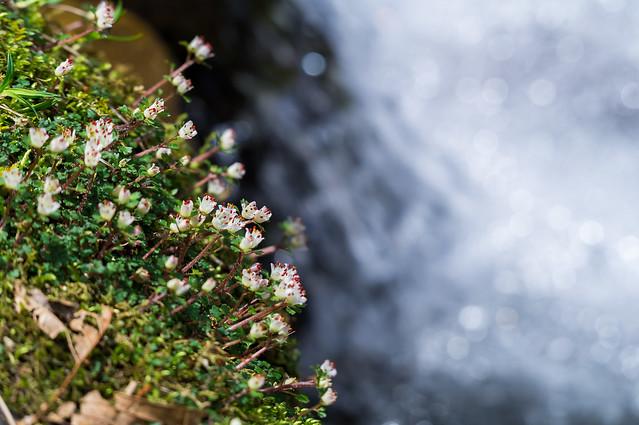 沢際に咲くハナネコノメソウ
