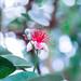Acca sellowiana flower
