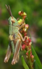 HolderMeadow Grasshopper nymph (Chorthippus parallelus)
