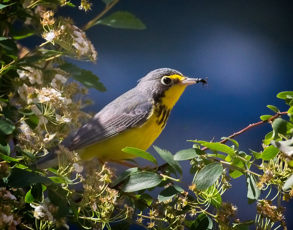 Canada warbler with an ant