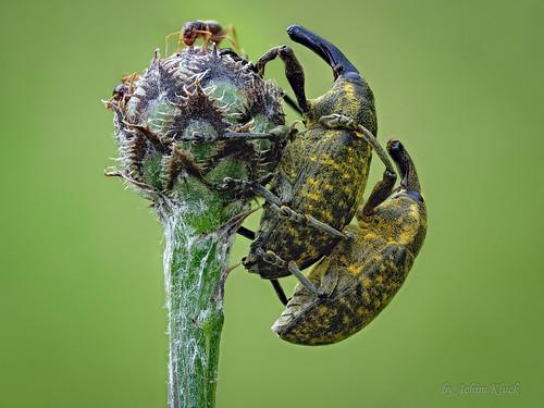 Zwei Große Distelrüssler (Larinus sturnus) haben sich lieb