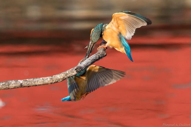 20180331-kingfisher-DSC_0753