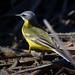 Lavandera boyera (Motacilla flava) / Yellow wagtail